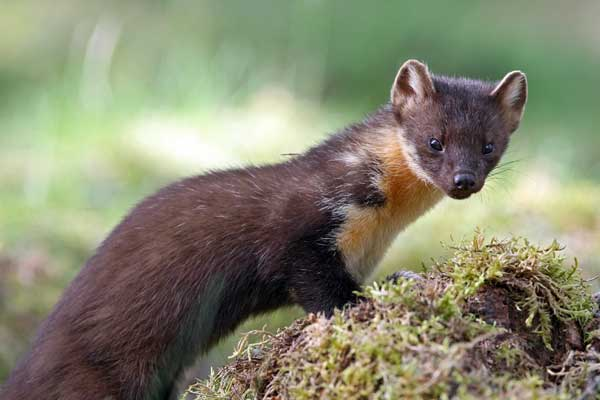 A rare glimpse of the retiring pine marten . . .