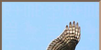 sparrowhawk in full flight
