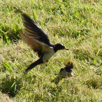 Swallow-Feeding-Fledgling