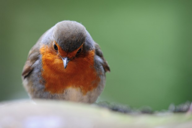 A robin from the Peak District in contemplative pose.