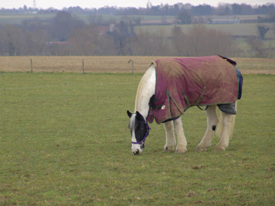 A horse grazing in a field, wearing a winter coat