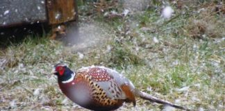 Pheasant in a snow shower