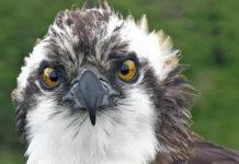 Monty, the Osprey of Springwatch fame.