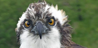 Monty, the Osprey of Springwatch fame.