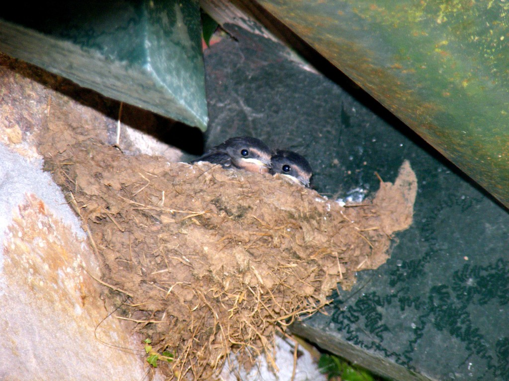 Two Swallow Chicks in their nest.