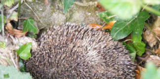 Hedgehog nestling amongst ivy and dead leaves.