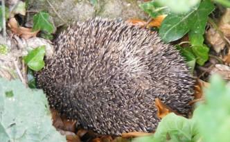 Hedgehog nestling amongst ivy and dead leaves.