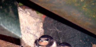 Swallow Chick