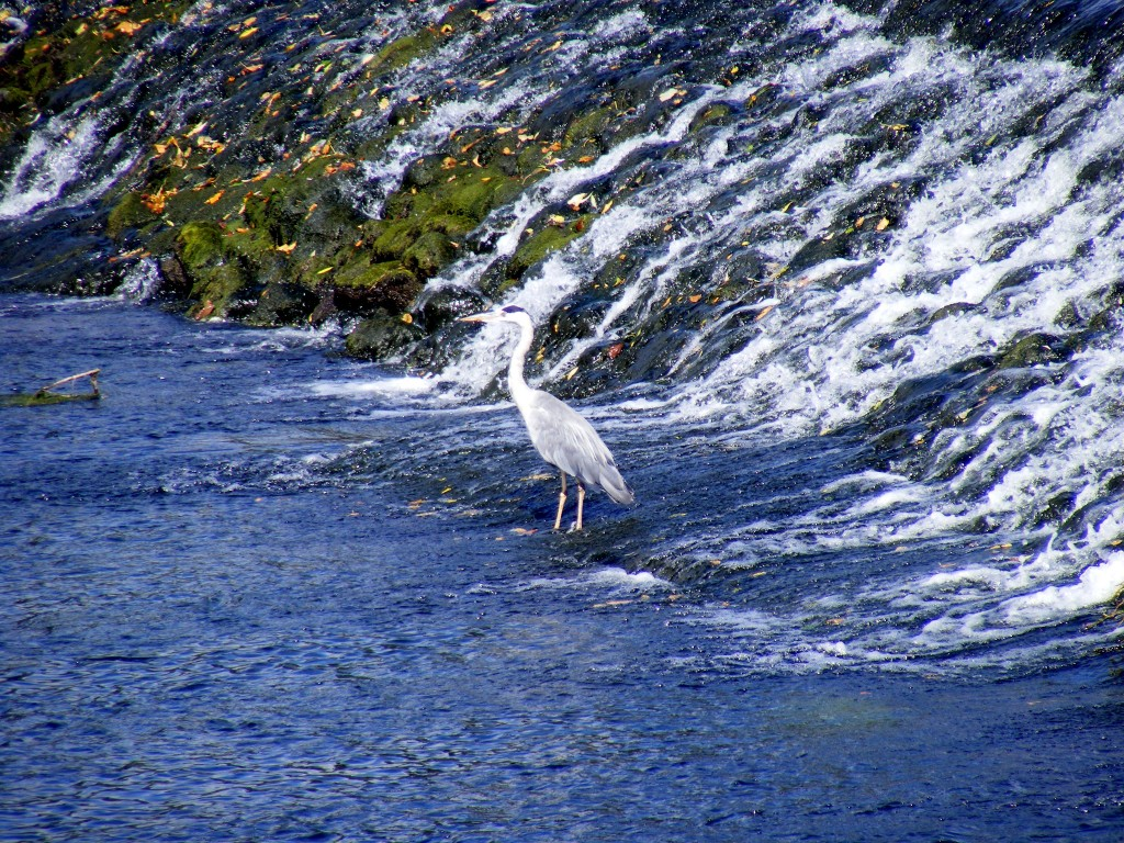 Heron in the weir, at Cahir.