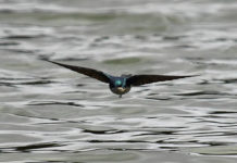 Swallow, swooping over water.