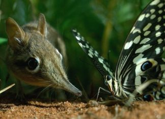 Sengi and butterfly.