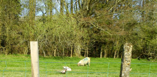Lambs and a pheasant.
