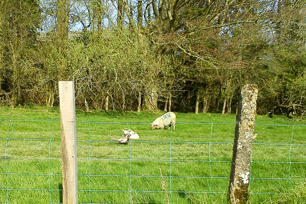 Lambs and a pheasant.