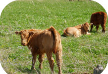 Red calf.