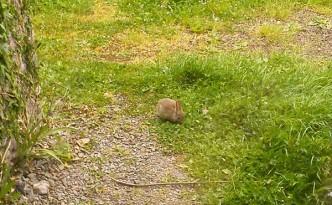 Rabbit eating grass.