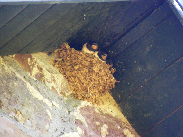 Swallow Chicks.