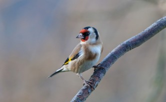 Goldfinch on a branch.