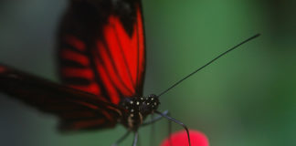 Red and black butterfly.