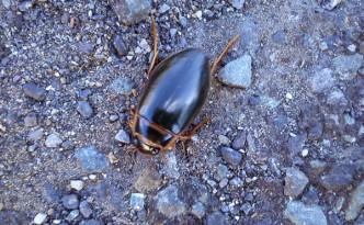 Beetle at Mahon Falls.