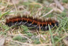 The humble Hairy Molly or Fox Moth Caterpillar (according to Internet reports).