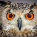 Owl with bright orange eyes.