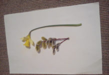 daffodil and catkins.
