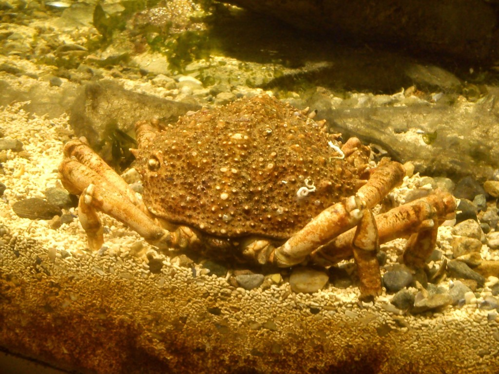 Crab at Atlantaquaria, Galway.