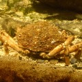 Crab at Atlantaquaria, Galway.