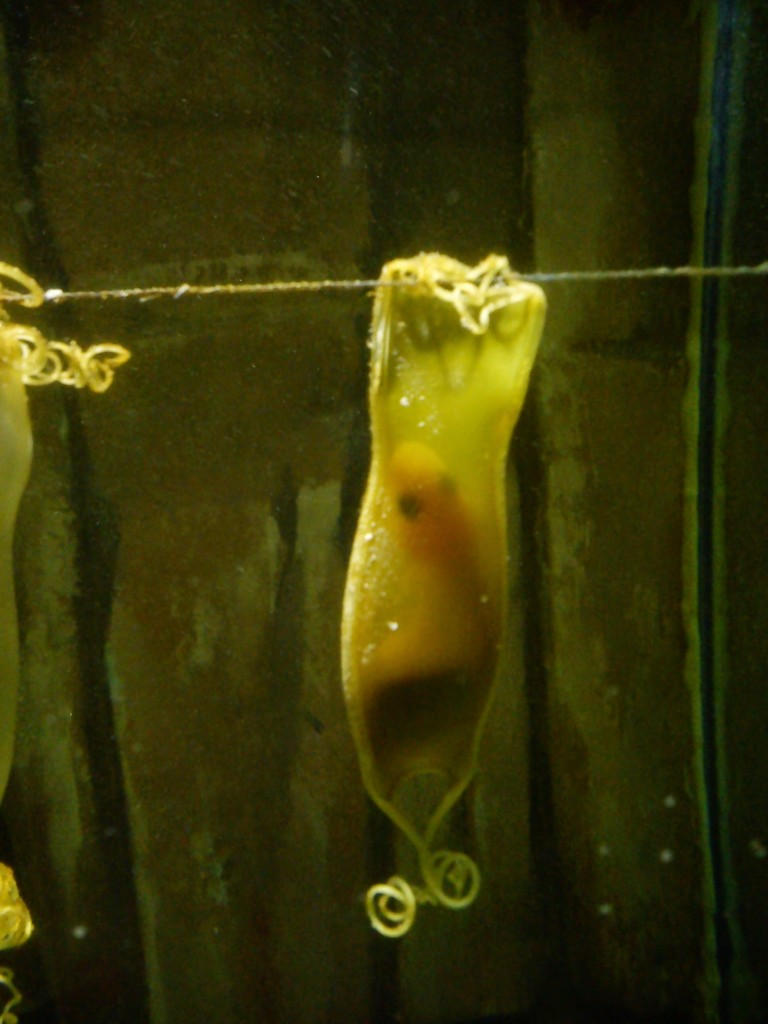 Mermaid's purse at Galway Atlantaquaria.