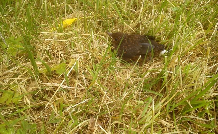 Blackbird Chick.