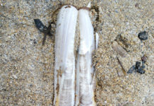 Razor Clam Shell at Ardmore.