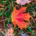 A bright maple leaf makes a startling autumn sight.