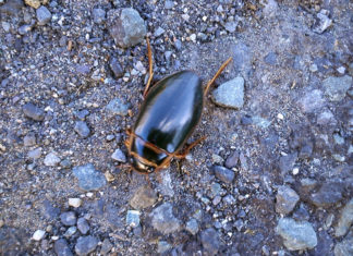 Beetle at Mahon Falls
