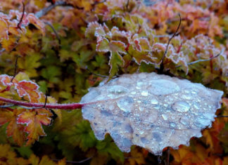 Leaf covered with droplets of dew