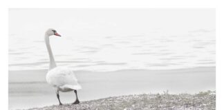White Swan photo taken by Zoe Harris in Suffolk