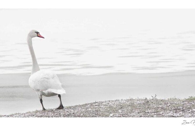 White Swan photo taken by Zoe Harris in Suffolk